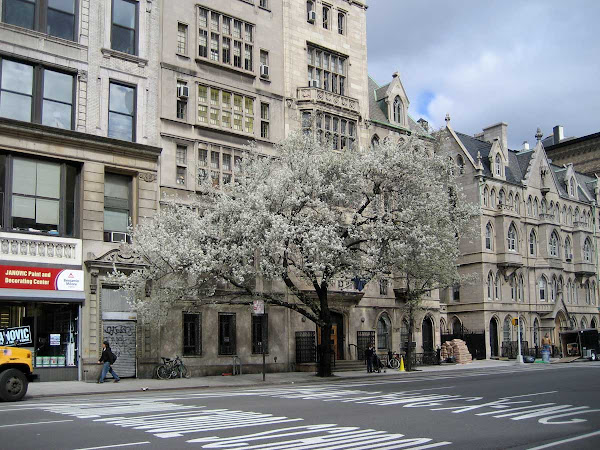 Dressed for Spring - A fuzzy cloud of a tree buzzing against the handsome 4th Ave. side of the Grace Church complex near 11th St.