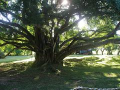Derrière l'arbre se cache...