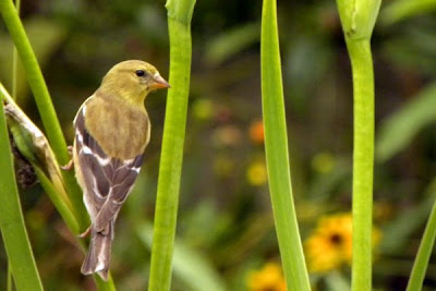 Half-Cloud, Glass-Feathers and Olive-Toes Goldfinch+Female