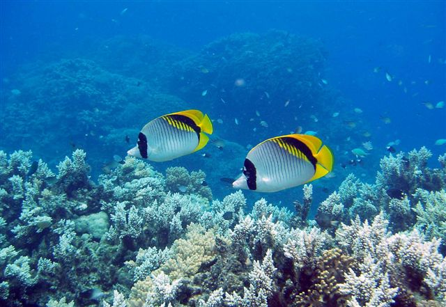 On the grapevine some fish of the great barrier reef for Great barrier reef fish