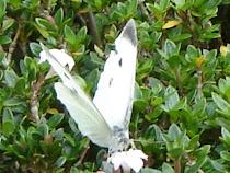 Pretty Formosan Butterfly