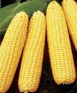 vegetable benefit of Corn