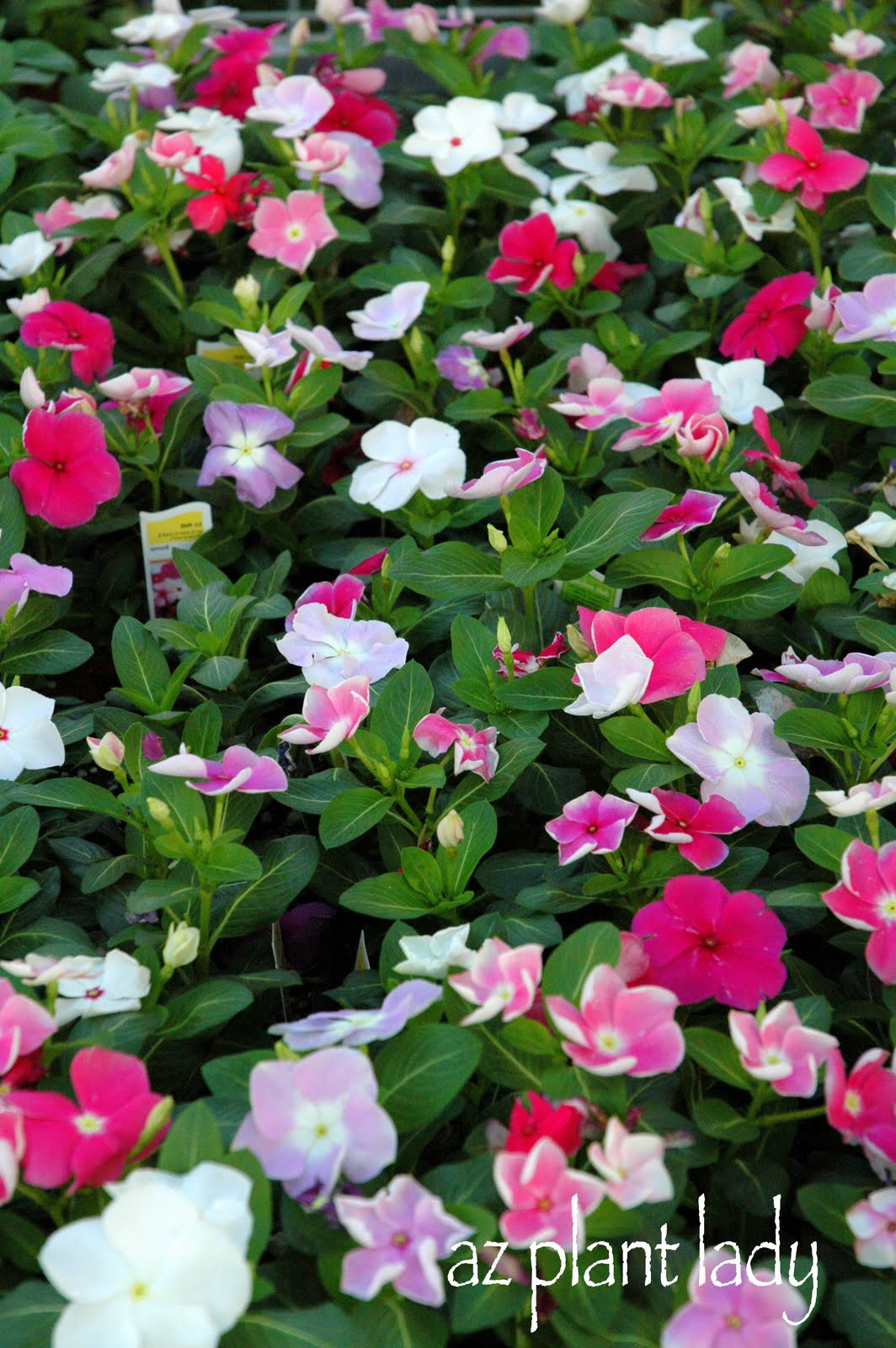 Very Vibrant Vinca Ramblings From A Desert Garden