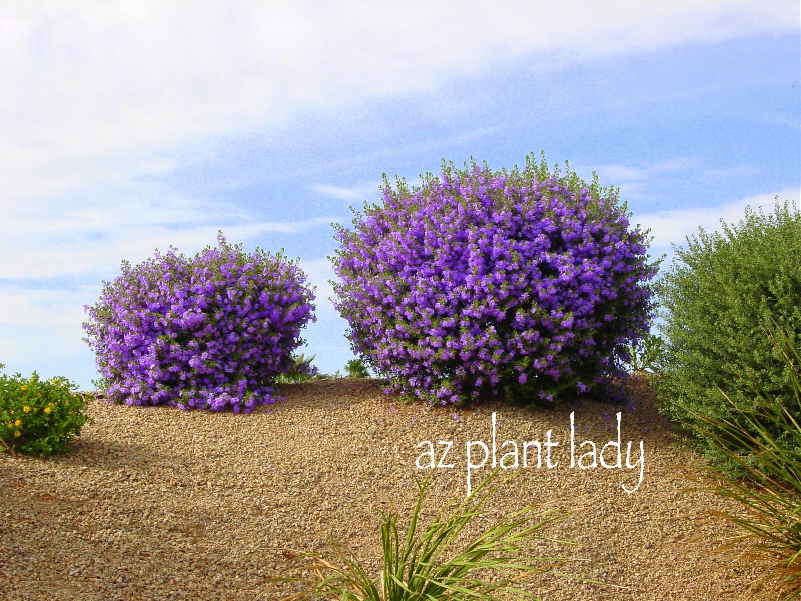 Image gallery thundercloud sage - Blooming shrubs ...