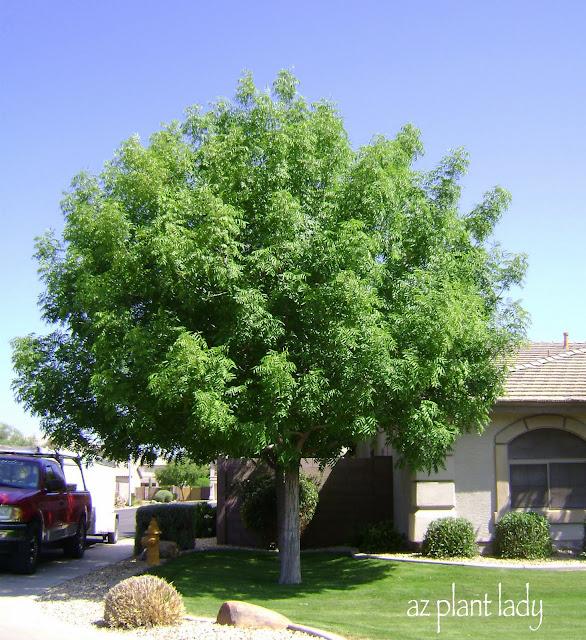 Backyard Trees For Shade : RAMBLINGS FROM A DESERT GARDEN A Wonderful Dilemma
