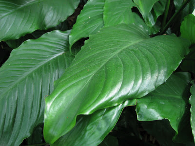 Matelic Image House Plant With Large Leaves