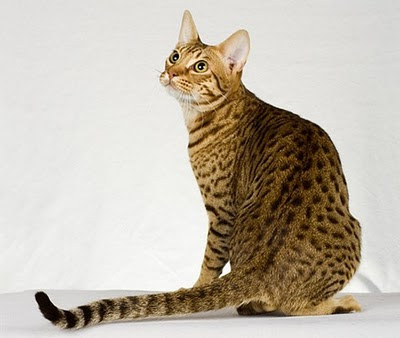 unique Ocicats breed