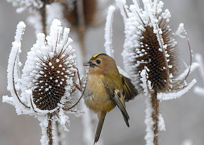 Europe's smallest bird searching for food in the cold Seen On Coolpicturegallery.blogspot.com