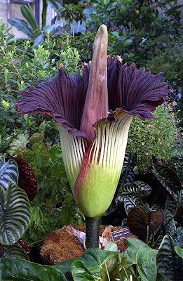 The Unusual and Largest Titan Arum Tropical Flower on Earth Seen  On www.coolpicturegallery.net