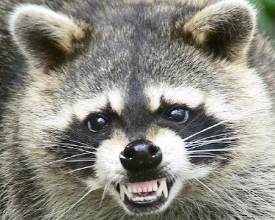 Uglu Pets blog: Mean ugly raccoon