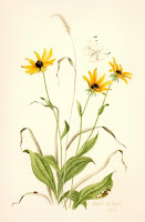 Maryland Black Eye Susan