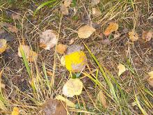 Ospeblader på fjellet, høsten 2008