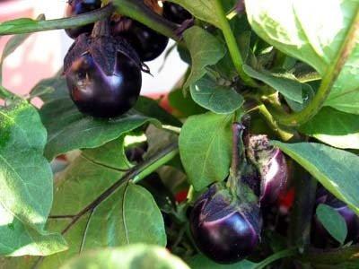 Bambino Eggplant