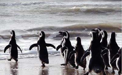 Pinguinos Cabo Virgenes