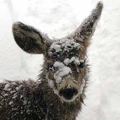 [Snowfall_deer1_2003.jpg]