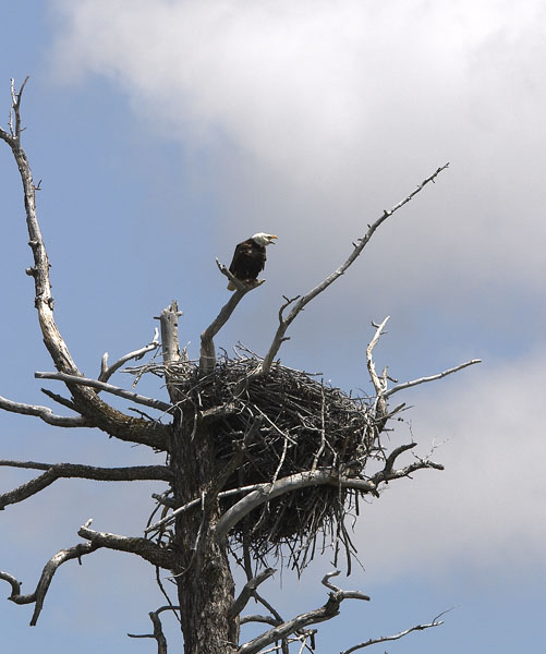 [Bald+Eagle+nest.jpg]