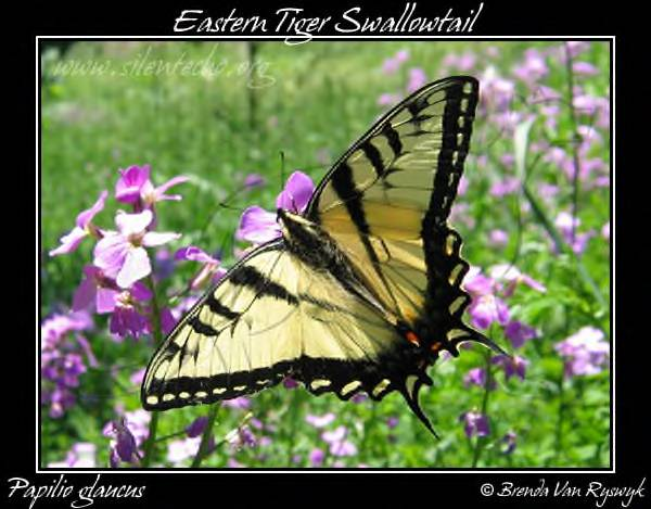 [EasternTigerSwallowtail-PapilioGlaucus-04Jun12-2FRAMED.jpg]