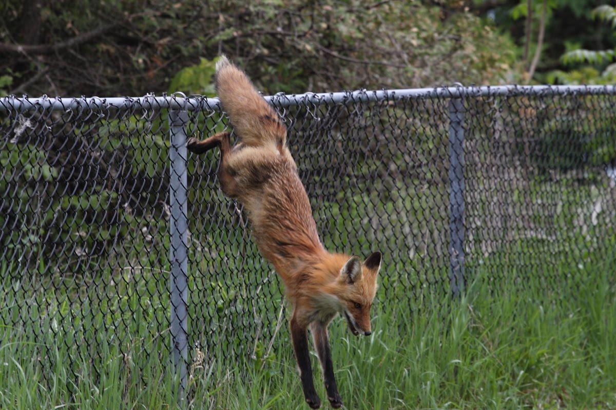 Ann Brokelman Photography Fox Female On The Fence May