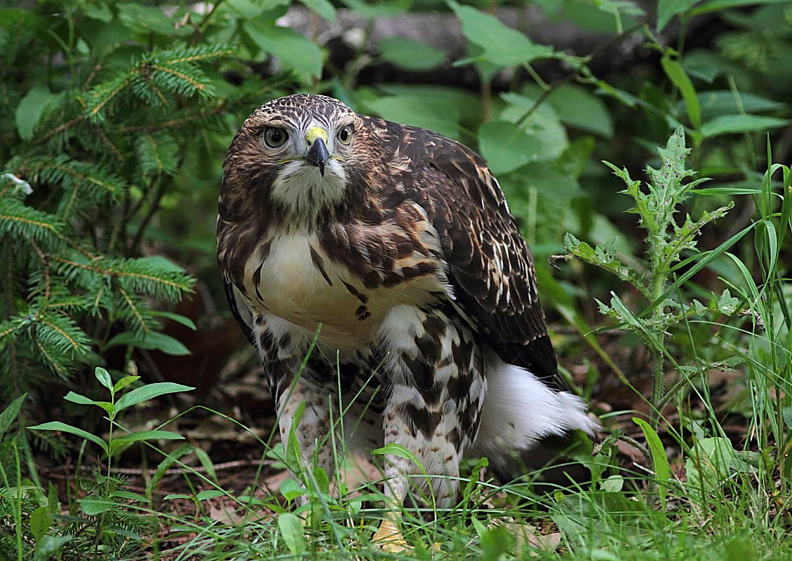 Red-Tailed Hawk Nest 2009-2017: Juvenile Red-Tailed Hawk