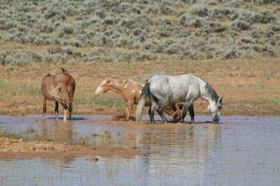 Wild horses wallow in the mud. Photo by Ken Martin