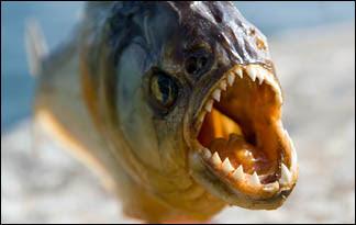 Piranha01 - top ten predators