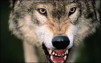 Graywolf01 - top ten predators