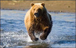 grizzly bear01 - top ten predators