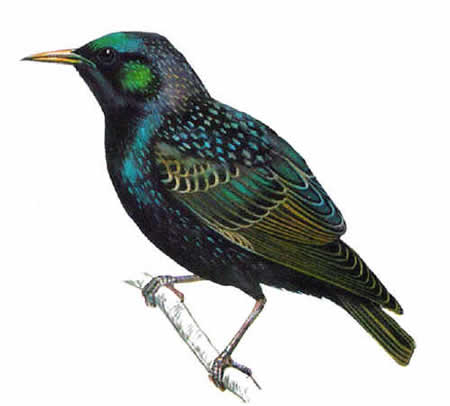 European Starling 5903