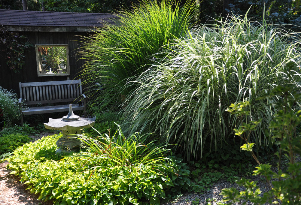 Three dogs in a garden a celebration of fall grasses for Ornamental grasses 3 ft tall