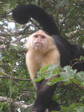 Monkey alongside Lake Gatun