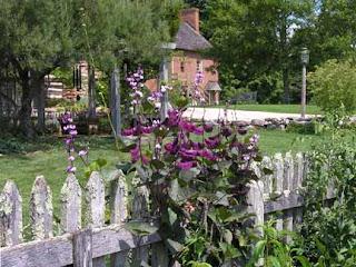 hyacinth beans on fence