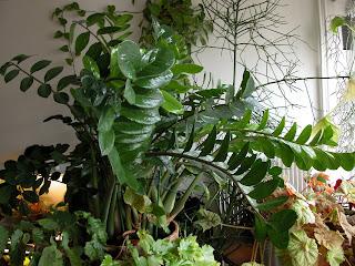 cette plante verte apparue depuis une dizaine dannes dans les points de vente de jardinage est le plus souvent vendue en petites potes - Osier Vivant Jardiland