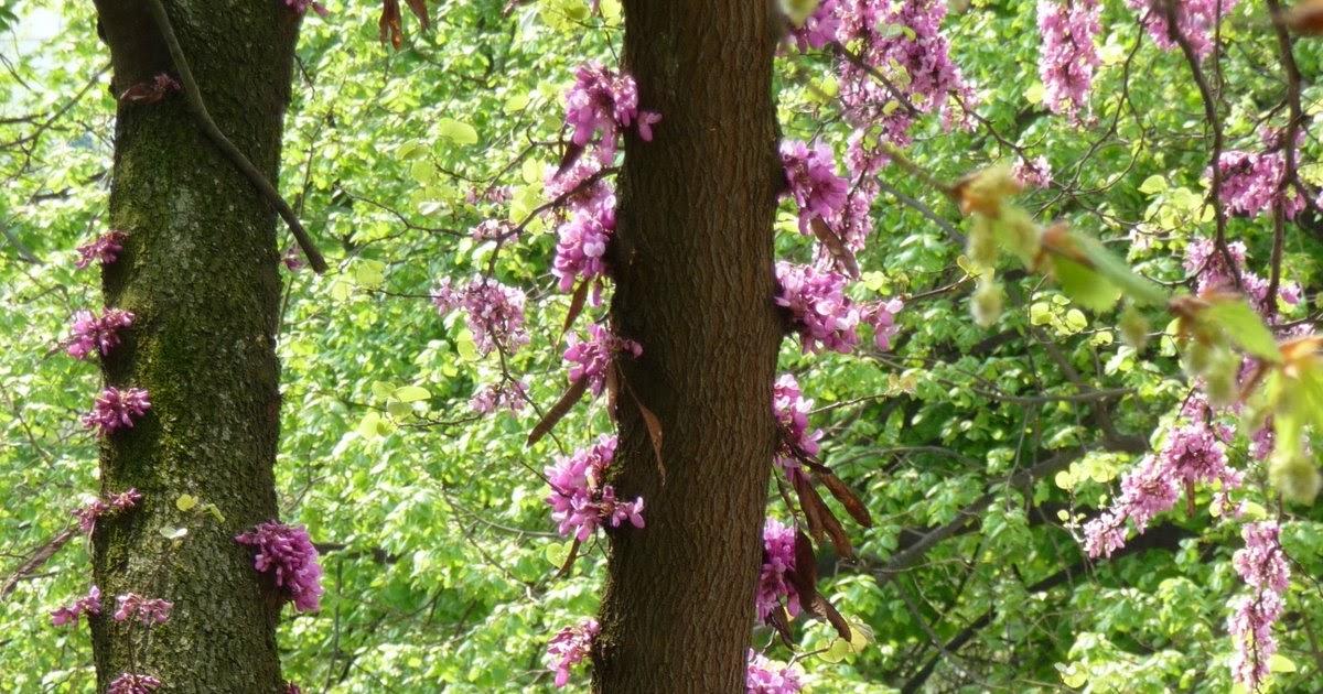 Arbre de Judee : fleurs sur tronc et branches