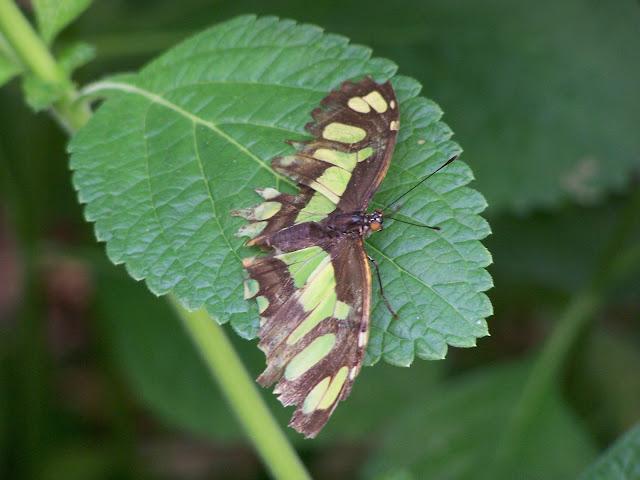 butterfly, butterflies, green,