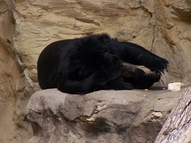 bear at San Antonio Zoo exhibit