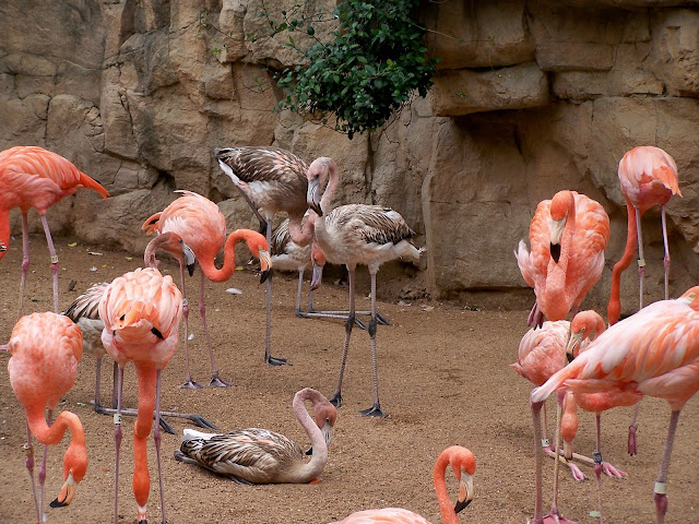 San Antonio Zoo Pink flamingo birds
