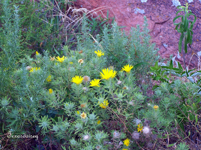 Wildflowers of Oklahoma on Mt. Scott near Lawton