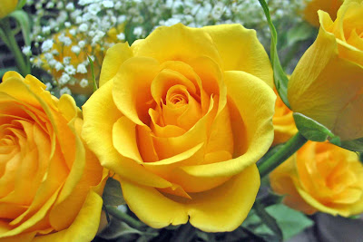 Желтые розы / Beautiful yellow roses