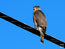 Cooper's hawk Accipiter cooperii adult