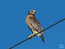 Red-shouldered Hawk, Buteo lineatus adult