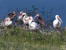 White Ibis , Eudocimus albus