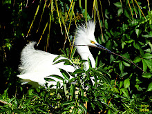 Snowy Egret, Egretta thula