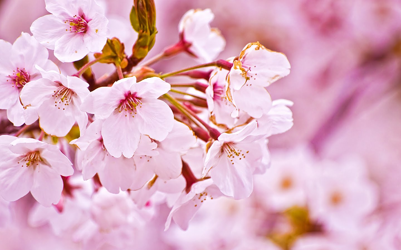 PARUi Cherry Blossoms Festival