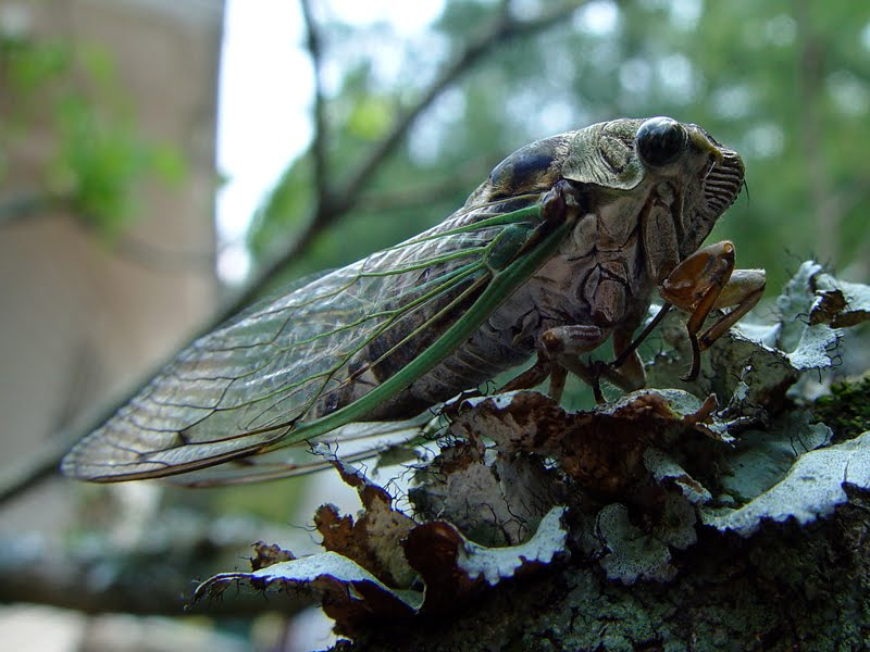 A Cicada in its natural habitat