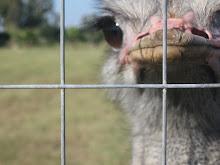 Non nascondere la testa dietro la gabbia
