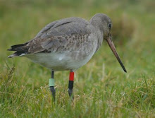For My EarlyBirder Blog Please Click the Black-Tailed Godwit