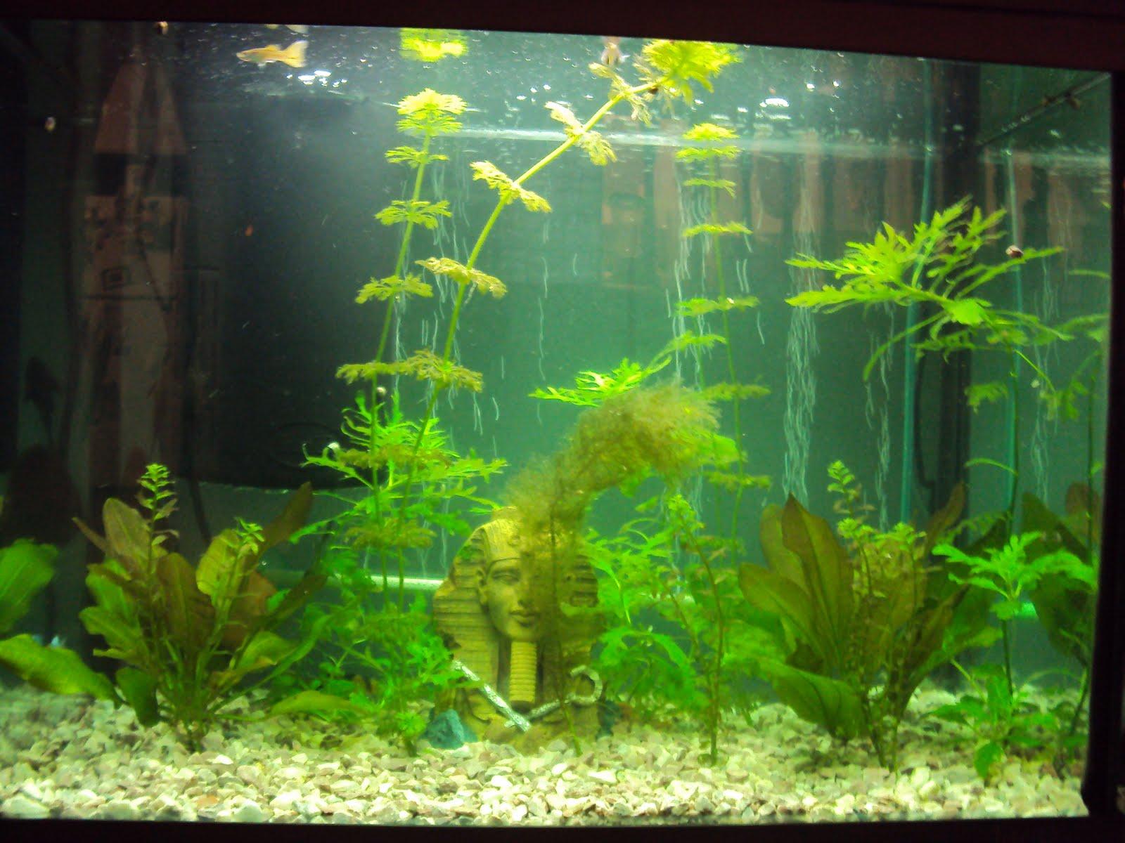 Peces de agua dulce fotos de plantas para pecera for Peces de agua dulce para peceras