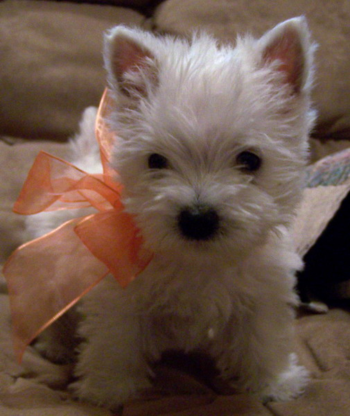 [westie-puppy-with-bow.jpg]
