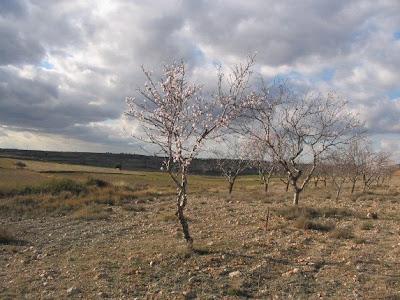 Almendreras en flor
