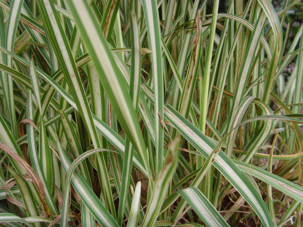 the plant princess variegated st augustine grass